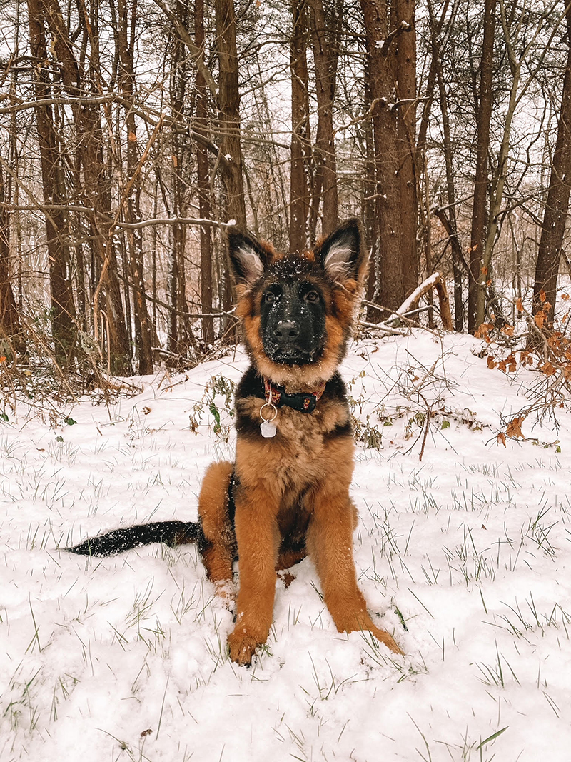 My puppy is a long coat German shepherd named Nova. She was only 10 pounds when my boyfriend and I first picked her up at 8 weeks old and now she is over 50! Photo courtesy of Samantha Schiano