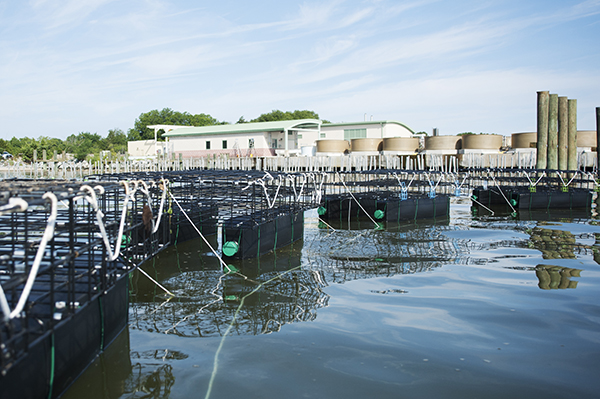 a grouop of floating oyster-growing cages secured to each other and the bay bottom by nylon ropes