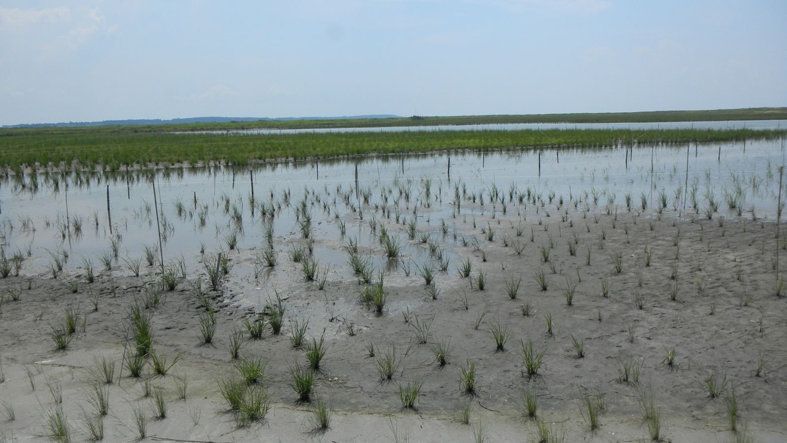 New plantings help complete the restoration at Poplar Island