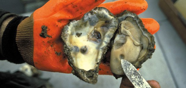 orange glove shucked oyster