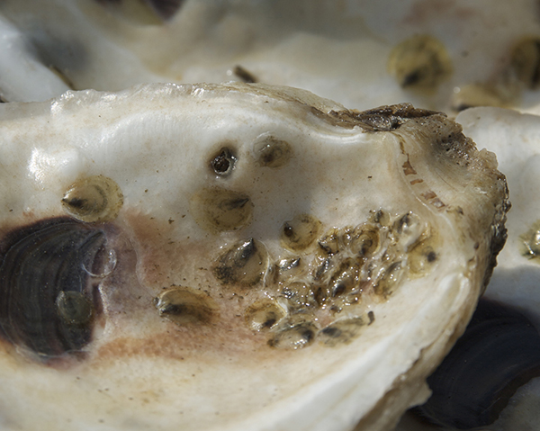 Close up image of oyster spat on oyster shell.