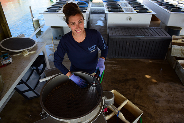 Natalie Ruark washes small oysters in the Hooper's Island hatchery.
