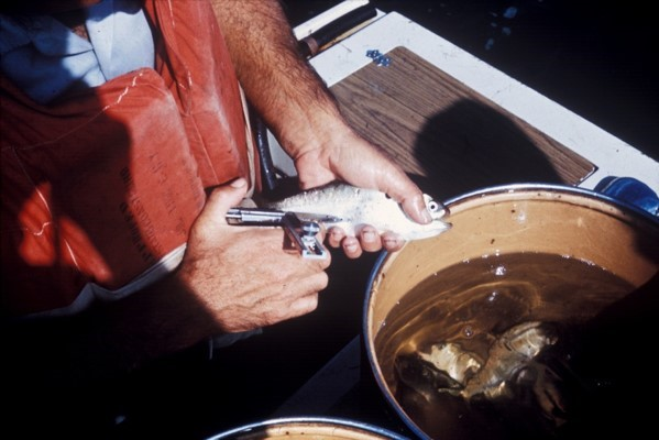 A menhaden being injected with a ferromagnetic tag.