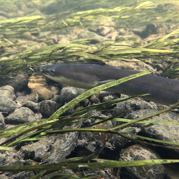 American Eels Life Cycle And Ecology Maryland Sea Grant