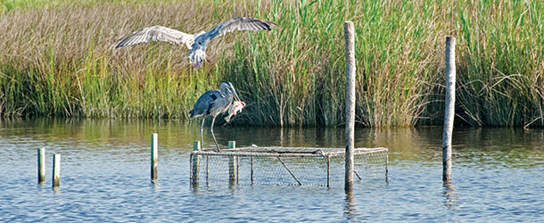 Heron and hawk along the shore of the Chesapeake Bay