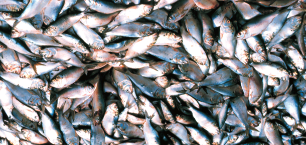 pile of menhaden