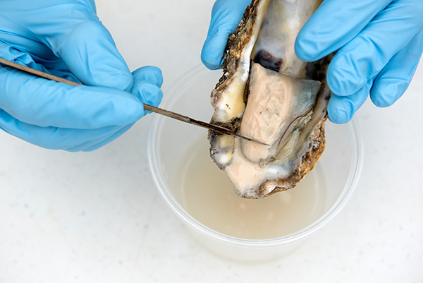 At Hooper's Island Oyster Company, hatchery staff hold the body of a ripe broodstock ready to spawn. A scalpel removes the light cream colored layer where the gametes are; then, they're washed in their own cup to prevent cross fertilization.