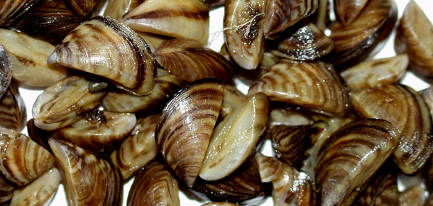 invasive species zebra mussels The situation: quagga and zebra mussels are aquatic invasive species that are  native to eastern europe the quagga mussel originated from.