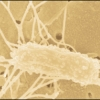 Bay Microbe Makes Big