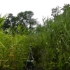 photo of Phragmites invasive common reed