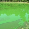green water showing microcystis bloom