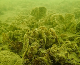 Image of a reef in Harris Creek. Credit: Oyster Recovery Partnership