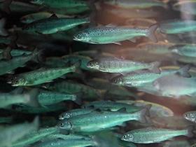 Atlantic salmon in an aquaculture tank.
