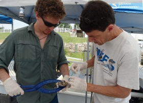 Taking blood from a blue crab